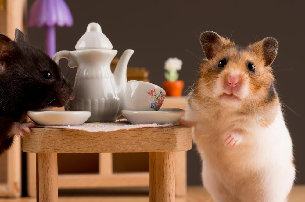 Hamster Cinsiyet Ayrimi Veteriner Türkiye